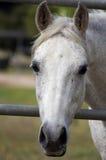 Fronte grazioso del cavallo bianco Fotografie Stock Libere da Diritti