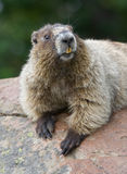 Fronte grazioso (marmotta hoary) fotografia stock libera da diritti