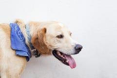 Fronte Labrador immagini stock