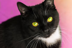 Fronte maschio del gatto immagini stock