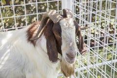 Fronte pacifico dell'animale domestico della capra in gabbia Fotografia Stock