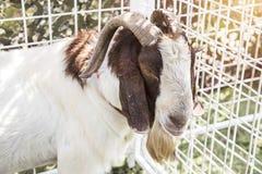 Fronte pacifico dell'animale domestico della capra in gabbia Immagine Stock
