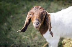 Fronte pacifico dell'animale domestico della capra in gabbia Fotografia Stock Libera da Diritti