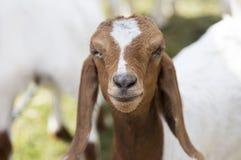Fronte pacifico dell'animale domestico della capra in gabbia Fotografie Stock