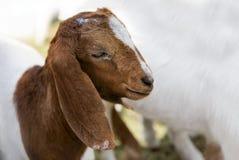 Fronte pacifico dell'animale domestico della capra in gabbia Immagini Stock