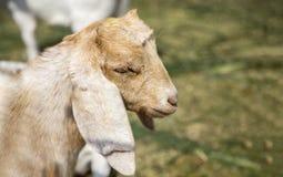 Fronte pacifico dell'animale domestico della capra in gabbia Immagini Stock Libere da Diritti