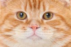 Fronte rosso del gatto Fotografia Stock