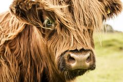 Fronte scozzese della mucca Fotografie Stock