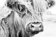 Fronte scozzese della mucca Fotografia Stock Libera da Diritti