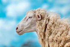 Fronte solo delle pecore in un'azienda agricola Immagini Stock