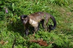 Fronte splendido di una scimmia trapuntata del cappuccino fra fauna Fotografie Stock Libere da Diritti