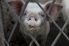 Fronte sporco del maiale Fotografia Stock Libera da Diritti