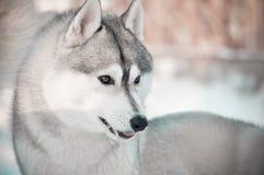 Fronte stupido del cane del husky siberiano Fotografia Stock