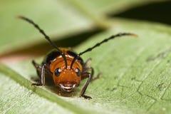 Fronte sveglio dello scarabeo Fotografie Stock