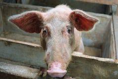 Fronte triste del maiale Fotografie Stock Libere da Diritti