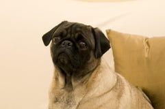Fronte triste del Pug Fotografia Stock