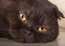 Fronte triste e stanco del gatto Immagine Stock Libera da Diritti