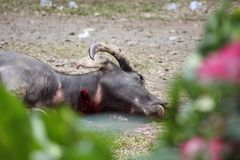 Fronte vicino su di un bufalo ucciso Immagine Stock Libera da Diritti