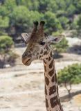 Fronteggi sulla vista di un rothschildi di camelopardalis del Giraffa contro fogliame verde Testa e collo soltanto fotografia stock libera da diritti
