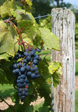 Frontenac Grapes On The Vine 3 Royalty Free Stock Images