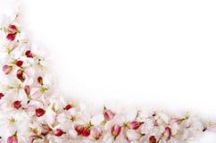 Frontera aislada del flor de cereza Fotografía de archivo