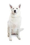 Frontera blanca Collie Dog Sitting Foto de archivo libre de regalías