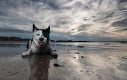 Frontera Collie Dog Imagen de archivo libre de regalías