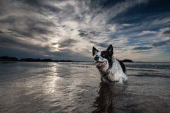 Frontera Collie Dog Foto de archivo