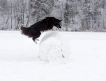 Frontera Collie Dog Jump sobre la bola de la nieve Invierno Foto de archivo libre de regalías