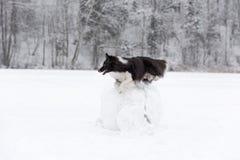 Frontera Collie Dog Jump sobre la bola de la nieve Invierno Imagen de archivo libre de regalías