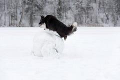Frontera Collie Dog Jump sobre la bola de la nieve Invierno Foto de archivo