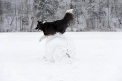 Frontera Collie Dog Jump sobre la bola de la nieve Invierno Fotografía de archivo libre de regalías