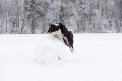 Frontera Collie Dog Jump sobre la bola de la nieve Invierno Fotos de archivo libres de regalías
