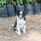 Frontera Collie Dog Puppy Sitting en jardín imágenes de archivo libres de regalías