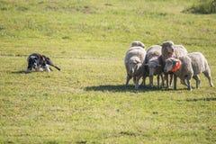 Frontera Collie Herding Sheep Reluctant Sheep imagenes de archivo