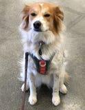 Frontera Collie Mix /Pets Imágenes de archivo libres de regalías