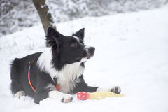 Frontera Collie Puppy Playing en la nieve Imagenes de archivo