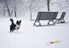 Frontera Collie Puppy Playing en la nieve Foto de archivo libre de regalías