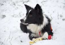 Frontera Collie Puppy Playing en la nieve Foto de archivo
