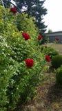 Frontera color de rosa del rojo Foto de archivo