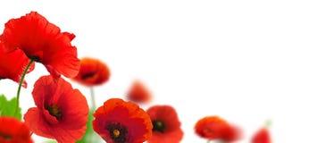 Frontera de las amapolas - jardín de flores del resorte imagen de archivo