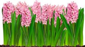 Frontera de las flores del jacinto del rosa de la primavera Imagen de archivo