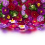 Frontera de las flores frescas del aster Imagen de archivo