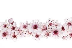 Frontera de los flores de cereza Imagenes de archivo