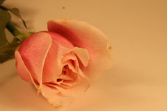 Frontera de Rose de la tarjeta del día de San Valentín Imagen de archivo
