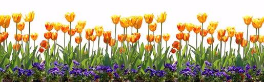 Frontera del tulipán Fotos de archivo