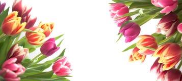 Frontera del tulipán del resorte Imagen de archivo