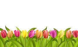 frontera en blanco con el espacio de la copia de los tulipanes rojos y anaranjados frescos de la primavera con las hojas verdes Imagen de archivo libre de regalías