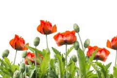 Frontera floral de las amapolas rojas, aislada en blanco imagen de archivo libre de regalías
