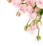 Frontera fresca de las rosas Imágenes de archivo libres de regalías